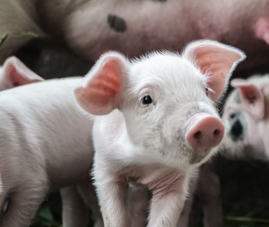ISU 2019 Animal Industry Report