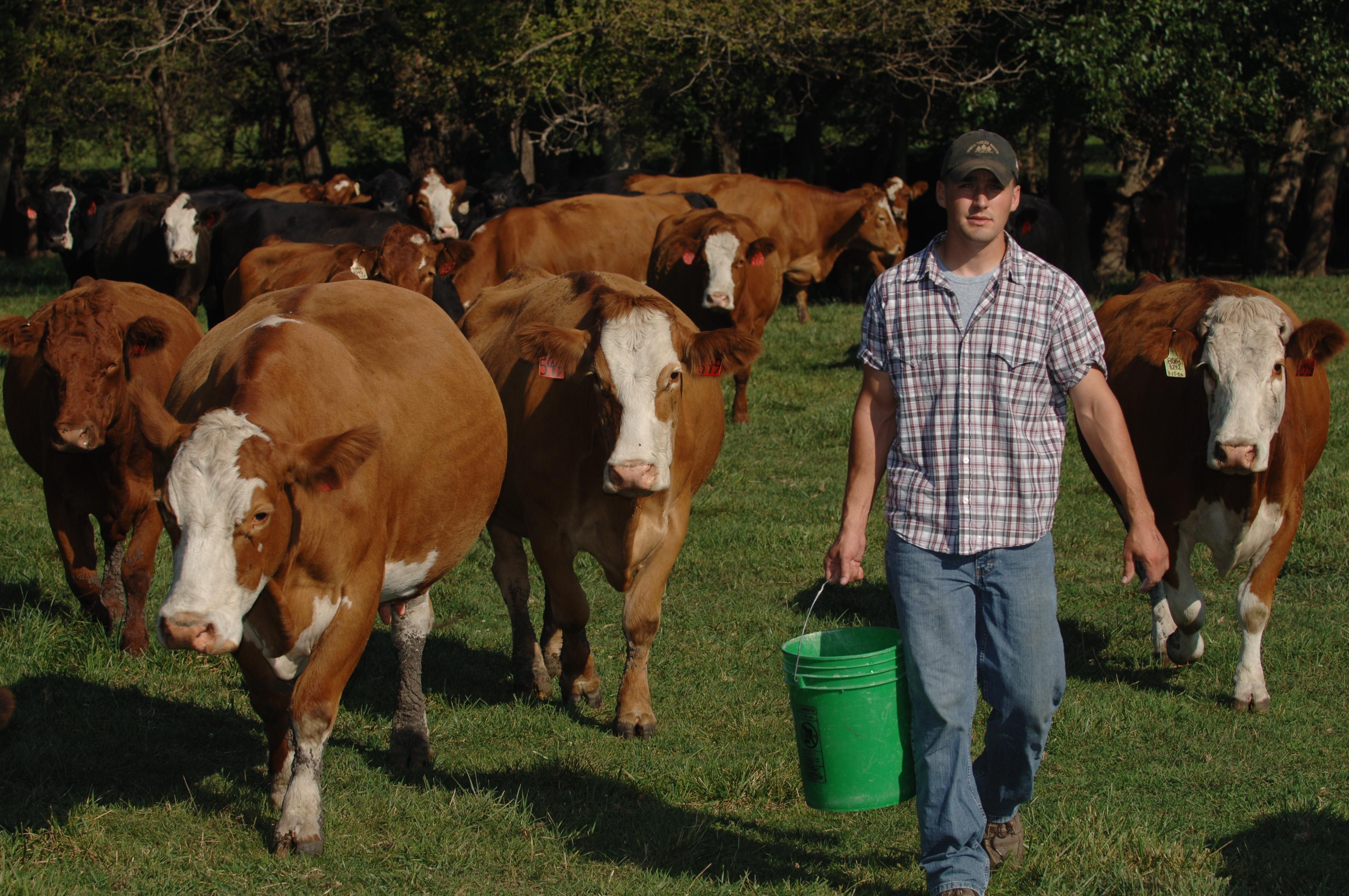 man feeding cows