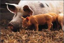 A pig with two piglets