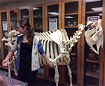Student with bovine skeleton