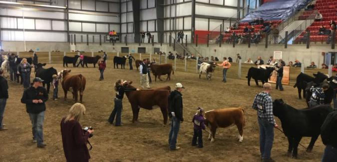 cattle at cyclone classic