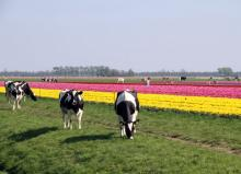 Cows by tulips